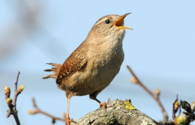 tweetingwren